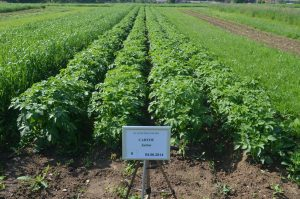Breeding of perennial grasses and  forage legumes