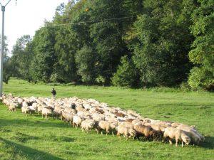 Grassland management under grazing